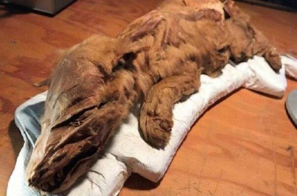 شناسایی فسیل سالم و کامل گرگ 57 هزار ساله