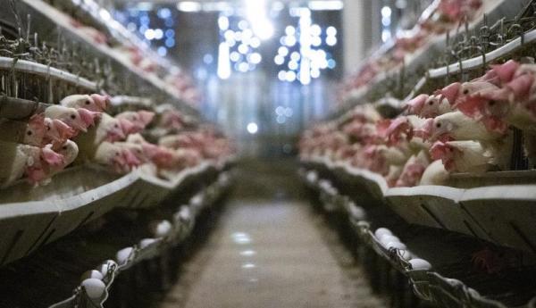 ثبات نسبی در بازار مرغ ، مرغداران خواستار اصلاح قیمت مصوب مرغ هستند